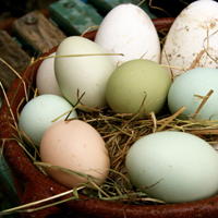 Goose, duck and Araucana hen's eggs